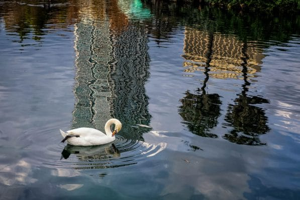 peaceful swan reflections on wateron water